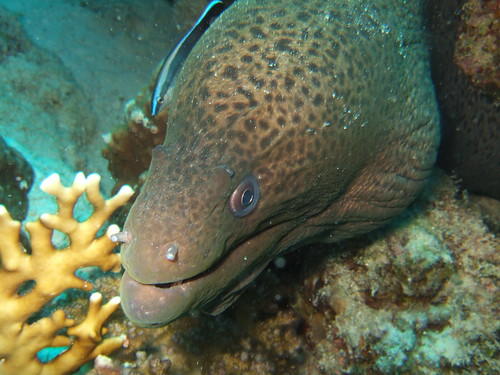 Giant Moray Eel (Gymnothorax javanicus)