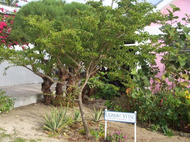 LIGNUM VITAE – BAHAMAS NATIONAL TREE | ROLLING HARBOUR ABACO