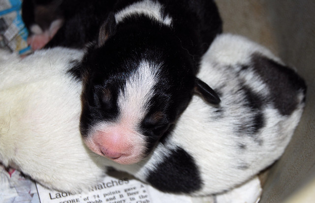 Border Collie Puppies Cuddly Cutelings