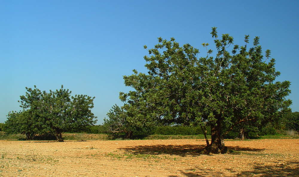 El algarrobo, la Ceratonia siliqua