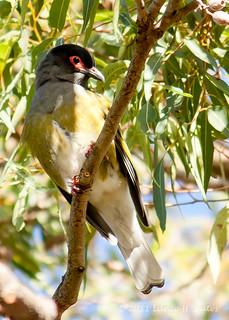 20110613 Australasian Figbird (Sphecotheres vieilloti)-24