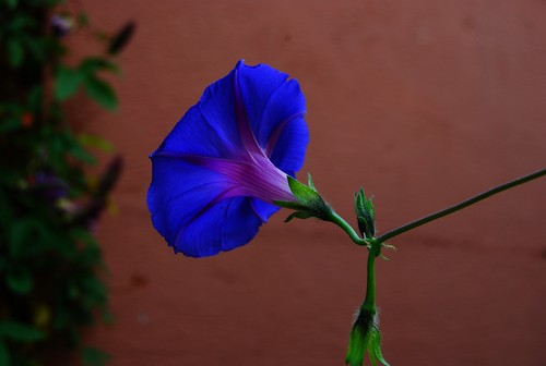 Ipomoea (Volubilis Varied) Flower Morning glory