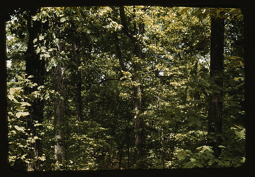 [Trees in a reforestation project, Md.?]  (LOC)