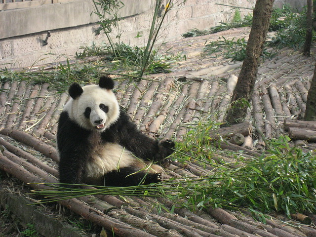 The Giant Pandas attract foreign visitors from around the world to Chengdu and China