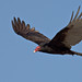 Turkey Vulture (Cathartes aura)