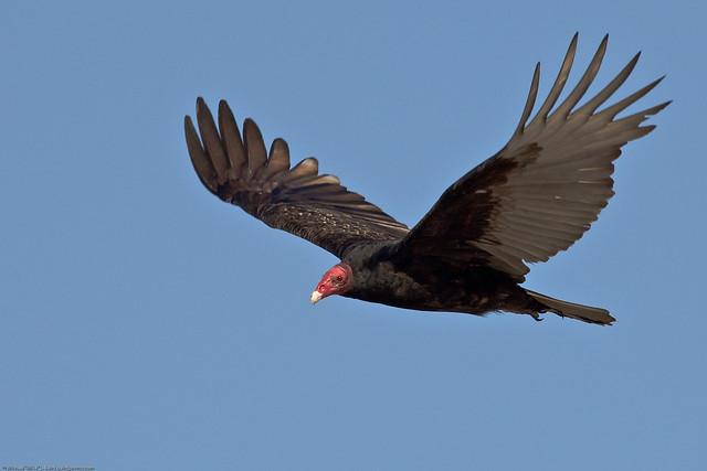 Imagen de una de las aves del QUindio: Guala (Cathartes Aura)