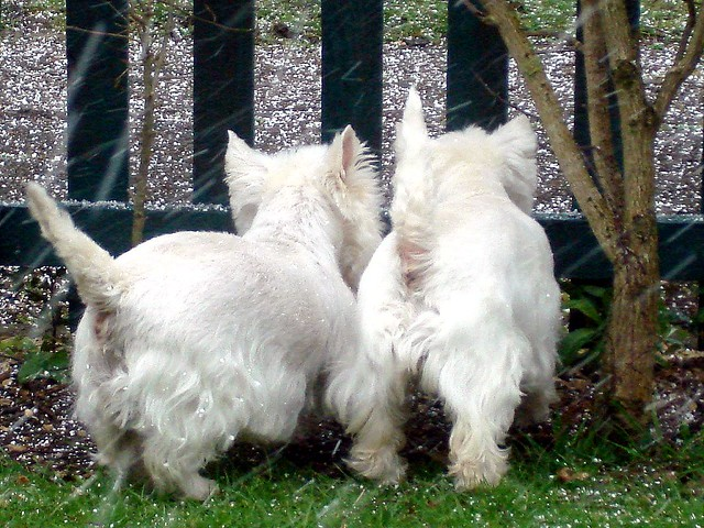 Funny Cute Puppies West Highland White Terrier