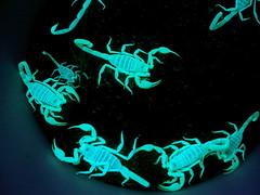 scorpion, invertebrate,