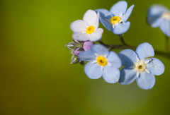 flower, yellow, nature, flora, green, forget-me-not, close-up, petal,