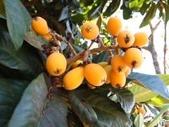 branch, leaf, yellow, eriobotrya, flora, fruit, loquat,