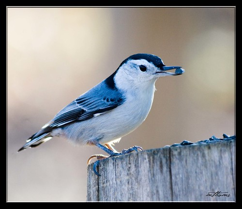 birds post ottawa nuthatch whitebreastednuthatch birdwatcher naturesfinest canon30d mudlake avianexcellence britanniaconservationarea kadacat