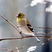 Finch - American Goldfinch