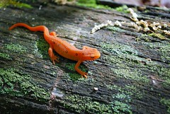 animal, amphibian, newt, leaf, salamander, nature, green, fauna, wildlife,