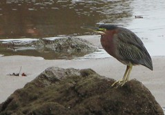 cinclidae(0.0), animal(1.0), fauna(1.0), green heron(1.0), beak(1.0), bird(1.0), wildlife(1.0),