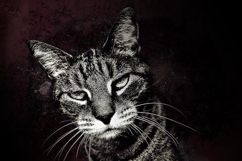 blackandwhite cat photoshop nikon bandit d40 thelittledoglaughed acreestudios