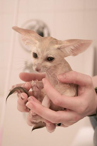 First Bath - Fennec Fox - Scout