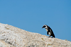 Penguin on Rock #2