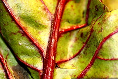 beet green   up close and personal    MG 9197