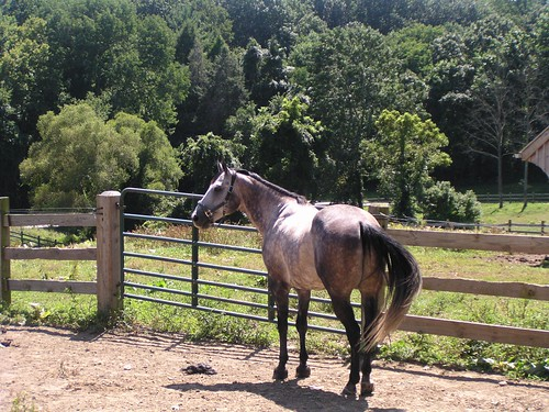 grey_horse