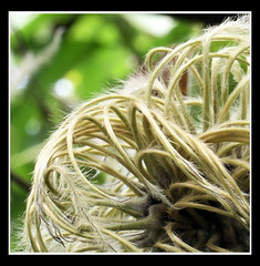 Hairy Seed (Clamatis)
