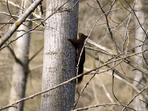 Esquirol - Ardilla - Squirrel (Sciurus vulgaris) 2