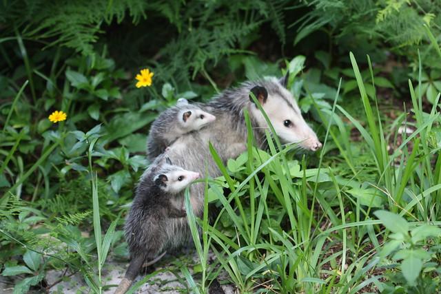 mom opossum and babies