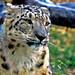 Snow Leopard by <wikd>