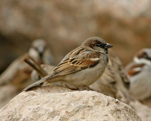 Egyptian House Sparrow (Passer domesticus niloticus)