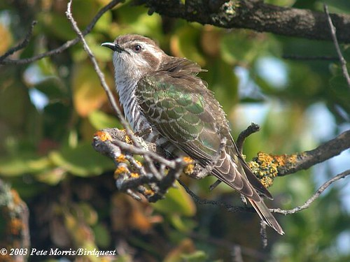 Horsfields Bronze-Cuckoo (Chrysococcyx basalis)