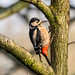 Great Spotted Woodpecker by Maria-H