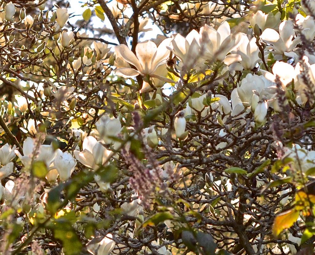 Golden Gate Park Magnolia Denudata Elizabeth San Fran Flickr