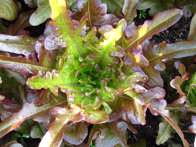 Looseleaf lettuce (Lactuca sativa) in the Herb Garden. Photo by Rebecca Bullene.