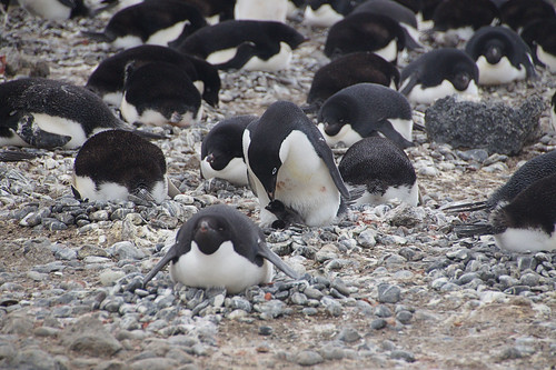 144 Brown Bluff  Adeliepinguins met kuikens