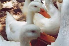 Greece geese