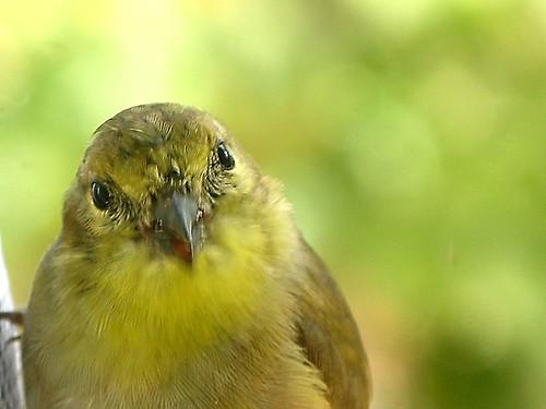 bird window goldfinch americangoldfinch favorited g7 finchsock viewfromthewindow featheryfriday adairsvillega finchfeeder