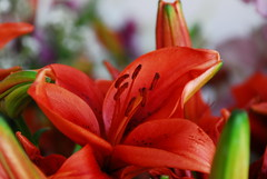 amaryllis belladonna, lily, flower, red, plant, macro photography, flora, close-up, petal,