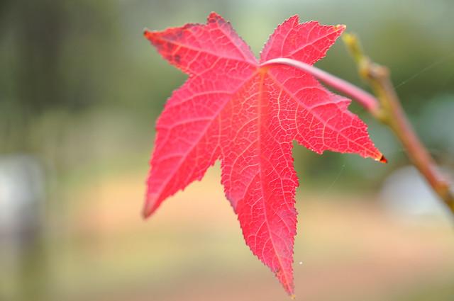 Liquid Amber Leaf Flickr Photo Sharing