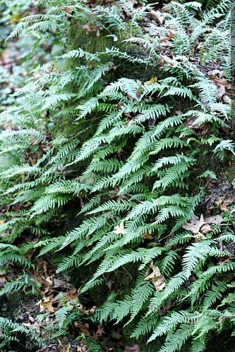 ferns growing horizontally    MG 5409
