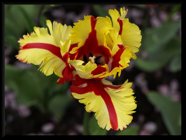 Yellow and Red Parrot Tulip | Flickr - Photo Sharing!