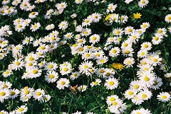 field(0.0), lawn(0.0), asterales(1.0), annual plant(1.0), flower(1.0), grass(1.0), marguerite daisy(1.0), chamaemelum nobile(1.0), tanacetum parthenium(1.0), daisy(1.0), wildflower(1.0), flora(1.0), oxeye daisy(1.0), meadow(1.0), chrysanths(1.0), daisy(1.0),