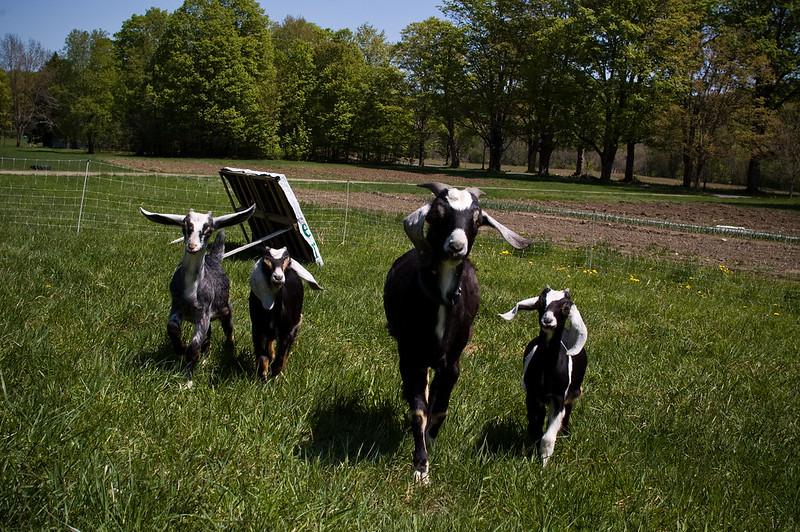 Goat Runway