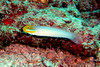 Blueband Goby at Similan Islands, Thailand