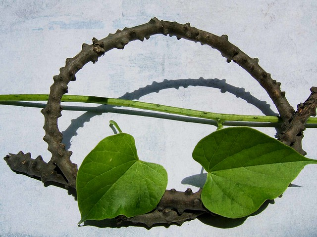 can you guess? #6 Tinospora rumphii Boerl. (Makabuhay ...