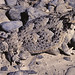Desert Horned Lizard - Photo (c) Kerry Matz, some rights reserved (CC BY-NC-SA)