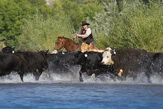 pushing cattle across the creek at The Hideout