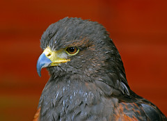 The Falconry Centre, Hagley, West Midlands