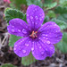 Vivid magenta flower with raindrops by Monceau