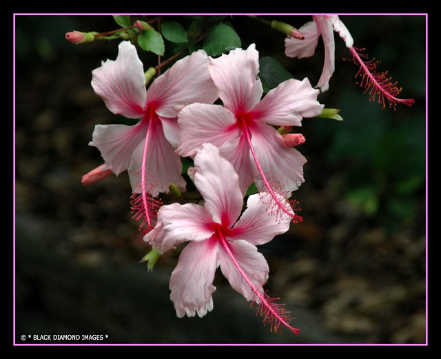 Pretty Pink Flowers - Hibiscus sp.