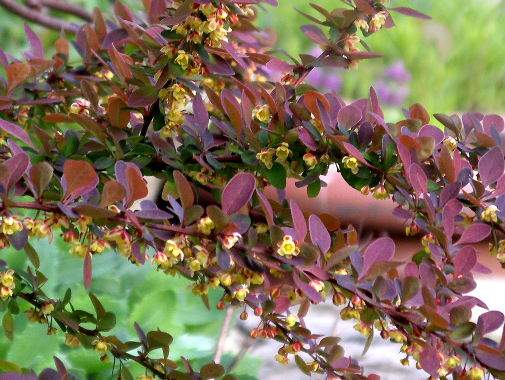 shrub id berberis thunbergii 39 atropurpurea 39. Black Bedroom Furniture Sets. Home Design Ideas