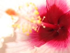 Hibiscus / ハイビスカス